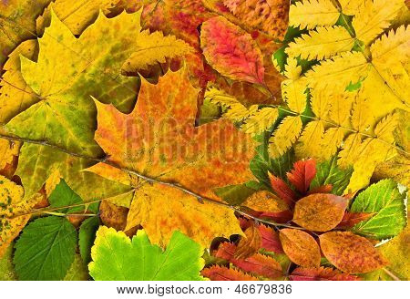 Multi Colored Fallen Autumn Leaves Background
