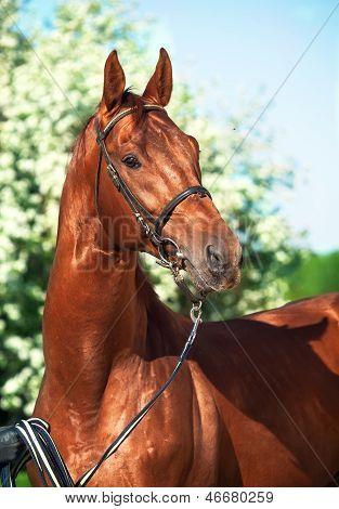 Spring Portrait Of Chestnut Trakehner Stallion