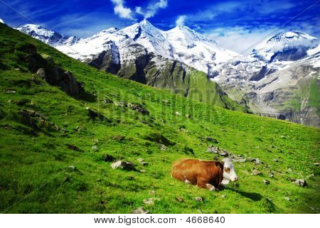 Alps And Cows