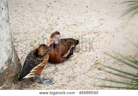 Fulvous whistling-duck (dendrocygna bicolor) and Black-bellied whistling-duck (dendrocygna autumnali