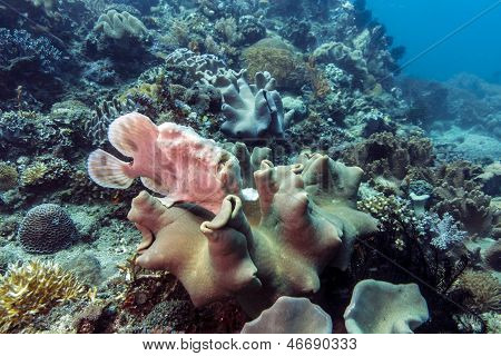 Frogfish On Coral