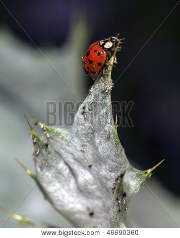 Ladybug Coccinella Magnifica