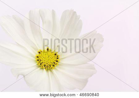 single cosmos flower, close up