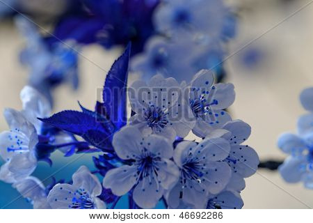Blühen Kirschenbaum