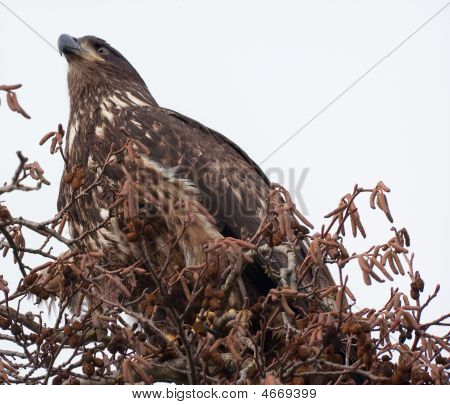 Immature Bald Eagle In Tree Skagit County Washington