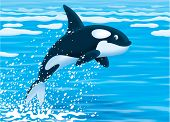 stock photo of grampus  - Orca leaping out of water in a polar sea - JPG