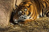 stock photo of foodchain  - Tiger waiting behind a rock ready to pounce upon its prey - JPG