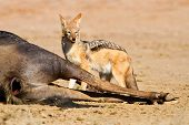 pic of jackal  - Jackal eating carcass in desert dead blue wildebeest - JPG
