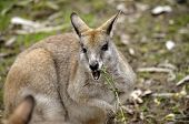foto of wallaby  - this is an agile wallaby enjoying lunch - JPG