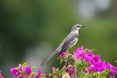 picture of mockingbird  - Northern Mockingbird state bird of Florida and many others member of the Mimidae family - JPG