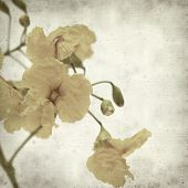 image of cassia  - textured old paper background with yellow cassia flowers - JPG