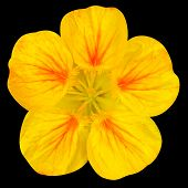 stock photo of nasturtium  - Yellow nasturtium flower Isolated on Black Background - JPG