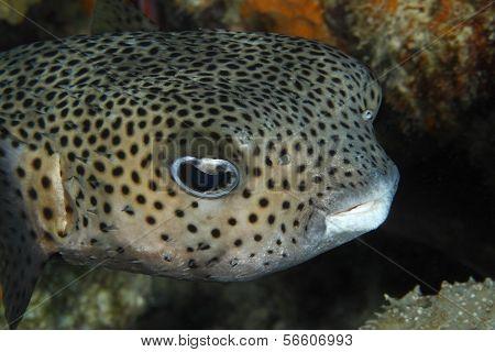 Porcupinefish Closeup