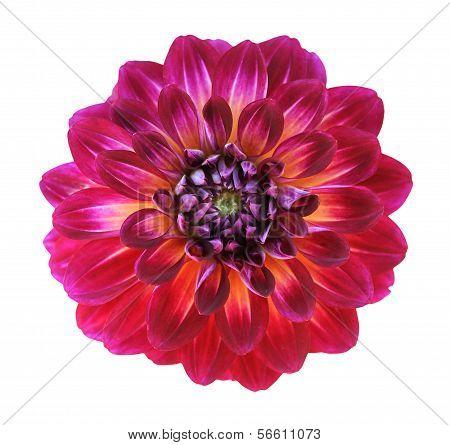 Chrysanthemum Dahlia