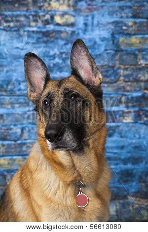 German Shepherd Dog Blue Background
