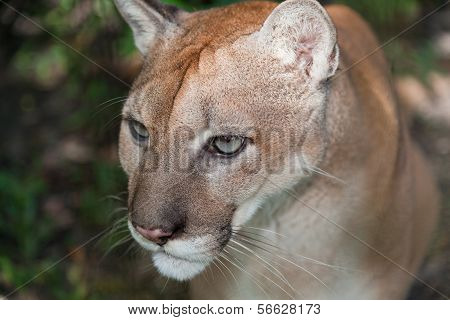 Concentrating Cougar