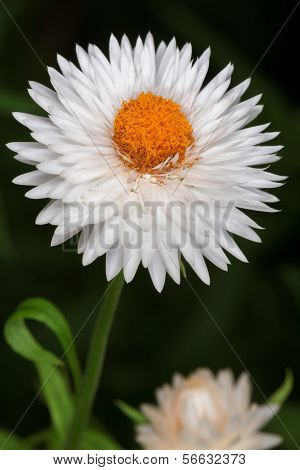 White English Daisy (bellis Perennis)