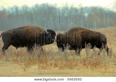 Buffalo Alberta