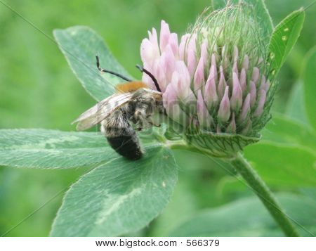 Trifolium Pratense And Bee