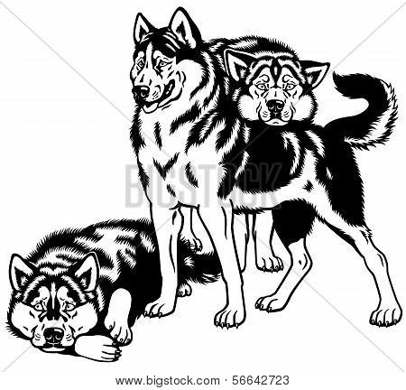 Three Siberian Husky Dogs Black White