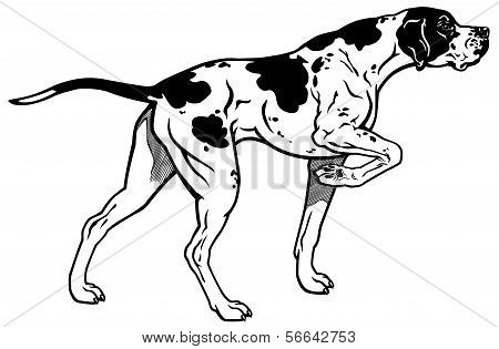 English Pointer Black White