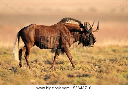 Male black wildebeest (Connochaetes gnou), South Africa