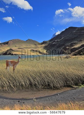 Patagonia, national park Torres del Paine, Chile. A graceful guanaco stands on the shore of blue lake, overgrown with grass and reeds.