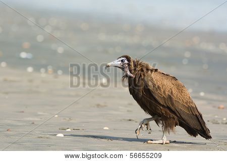 Hooded Vulture (necrosyrtes Manachus)  Stalking Up The Beach