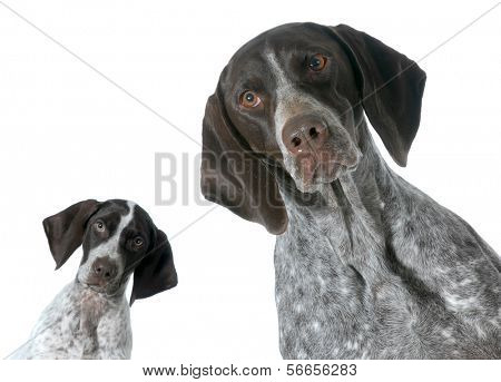 adult and puppy german shorthaired pointer isolated on white background