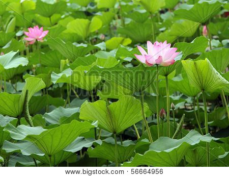 Lotus Pond In The City Park