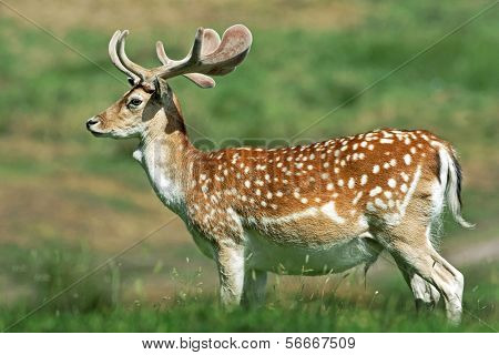 A Young Fallow Deer Stag (dama Dama).