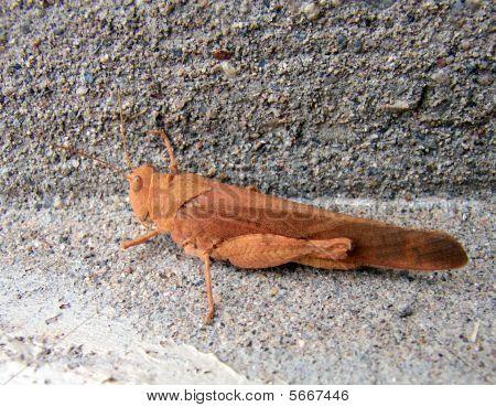 Brown Hopper