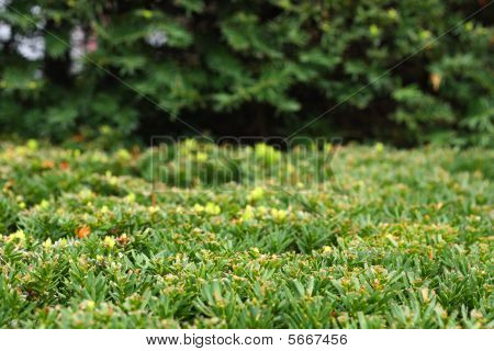 Trim Green Shrub