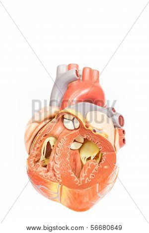 Human heart model front view