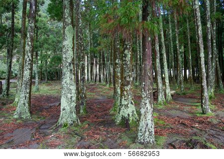 Beautiful trees in Azores Islands