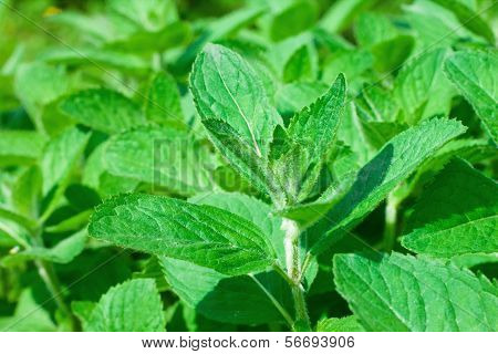 Closeup of fresh peppermint leaves