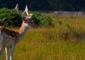 Gazing Deer poster
