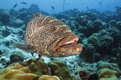 stock photo of grouper  - Tiger Grouper  - JPG