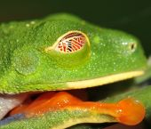 Close up of red eyed green tree frog eye