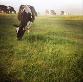 foto of dairy cattle  - Dairy cows in paddock - JPG