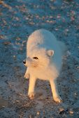 image of arctic fox  - An arctic fox searches for food in the snow near Churchill Manitoba - JPG
