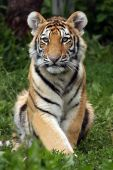 foto of tiger cub  - Closeup of a Siberian Tiger Cub against a blurred background - JPG