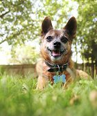 stock photo of chihuahua  - a cute chihuahua in the grass - JPG