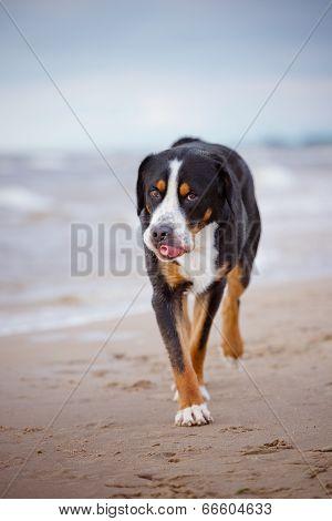 great swiss mountain dog on the beach