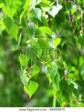 Branch Of Birch
