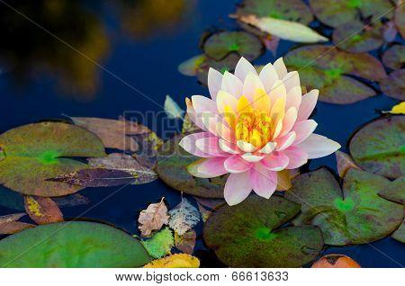 soft pink lotus flower