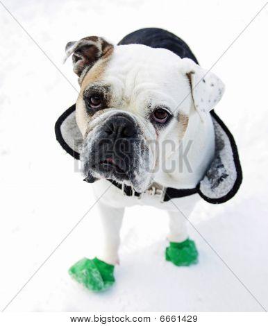 Englisch bulldog