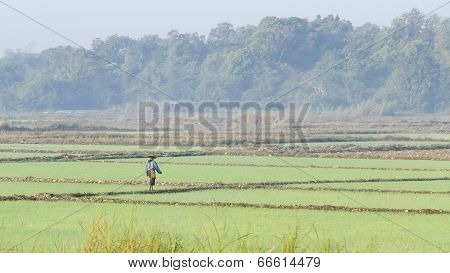 In A Rice Field