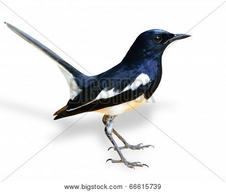 Beautiful Male Of Oriental Magpie Robin, The Black And White Bird, With Tail Lifting Isolated On Whi