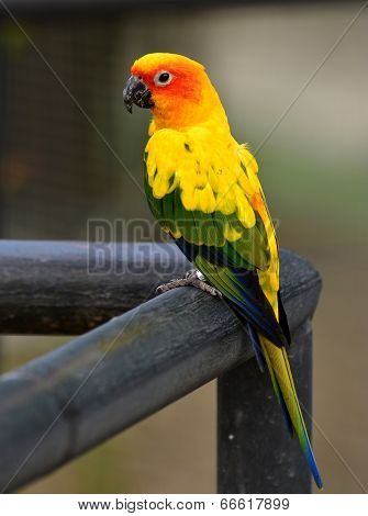 Beautiful Yellow Sun Conure Parrot Bird Standing On The Rail